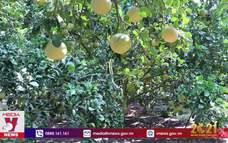Bưởi không tiêu thụ được do dịch, nông dân Đồng Nai có nguy cơ trắng tay