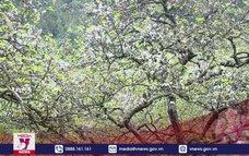 """""""Lạc lối"""" giữa mùa hoa mận nở trắng trời cao nguyên Mộc Châu"""
