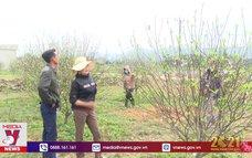 Đào phai nổi tiếng của Hà Tĩnh vào vụ Tết