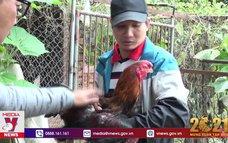 Bắc Ninh bảo tồn giống gà Hồ quý hiếm