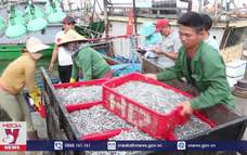 Ngư dân Quảng Trị được mùa cá cơm