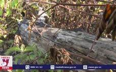 Đốn hạ nhiều diện tích rừng tự nhiên tại Cam Lâm