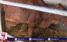 Nghệ An cần ngăn dịch viêm da nổi cục cho gia súc