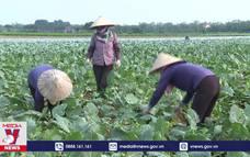 Nông dân Bắc Ninh điêu đứng vì nông sản không thể tiêu thụ
