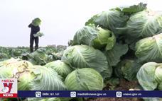 Thái Bình kêu gọi giải cứu bắp cải cho nông dân