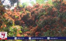 Cây trang rừng nở rộ, thu hút du khách Bình Định