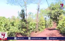 Phát hiện hơn 1.500 cây cần sa trồng trái phép