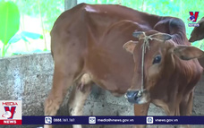 Yên Bái xuất hiện 4 ổ dịch viêm da nổi cục trên bò