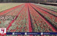 Hà Lan rực rỡ sắc hoa tulip