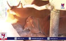 Quảng Trị tập trung ngăn chặn dịch bệnh viêm da nổi cục trên gia súc