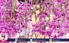 Hoa lan Lai Châu khoe sắc