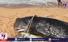Cá voi trôi dạt vào bờ biển Phú Yên