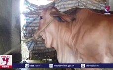 Phú Yên công bố hết bệnh lở mồm long móng trên đàn bò