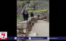 Gấu quý hiếm xuất hiện trở lại ở thành cổ Machu Picchu