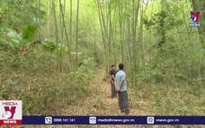 Phục tráng rừng luồng giúp người dân vùng biên giảm nghèo