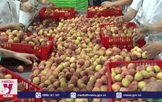 Bắc Giang tiêu thụ thành công 50 nghìn tấn vải chín sớm