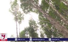 Gỗ đước rớt giá, người trồng rừng Cà Mau gặp khó