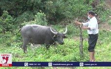 Kon Tum ngăn chặn dịch bệnh trên trâu, bò
