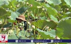 Hiệu quả từ mô hình trồng sen trên đất trũng ở Huế
