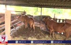Đắk Lắk ghi nhận những ổ dịch đầu tiên bệnh viêm da nổi cục ở trâu, bò