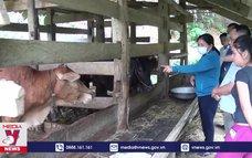 Chủ động tiêm vaccine phòng, chống bệnh viêm da nổi cục trâu, bò
