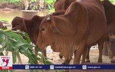 Ninh Bình tập trung kiểm soát bệnh viêm da nổi cục trên trâu bò