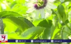 Mô hình trồng chanh leo trên đất đồi Quảng Trị
