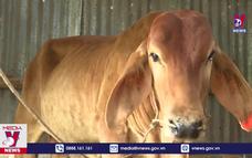 Phú Yên ngăn chặn bệnh Viêm da nổi cục trên trâu, bò