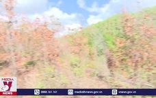 Nhiều diện tích rừng ở Bình Định chết khô do nắng hạn