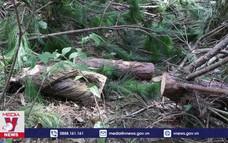 Ngang nhiên khai thác rừng phòng hộ trên đèo Pha Đin