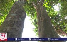 Quảng Trị bảo tồn những vườn chè cổ thụ trăm tuổi xứ Cùa