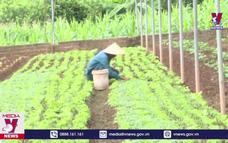 Hiệu quả trồng rau trái vụ ở cao nguyên Mộc Châu