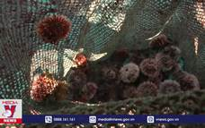 Huyện đảo Lý Sơn lần đầu nuôi thành công nhum sọ