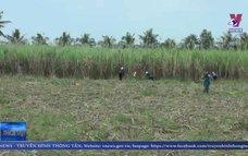 Nông dân trồng mía ở Trà Vinh thêm một mùa vụ thất thu