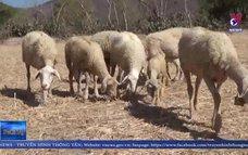 Ninh Thuận nỗ lực cứu đàn gia súc trong mùa khô hạn
