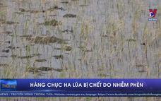 Hàng chục ha lúa bị chết do nhiễm phèn