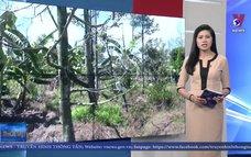 Gần 4.500 ha sầu riêng thiệt hại do hạn mặn