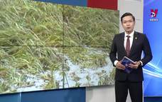 Nhiều diện tích lúa Sóc Trăng bị đổ ngã, khó thu hoạch