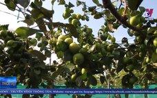 Nâng cao hiệu quả kinh tế từ giống táo mới tại Ninh Thuận