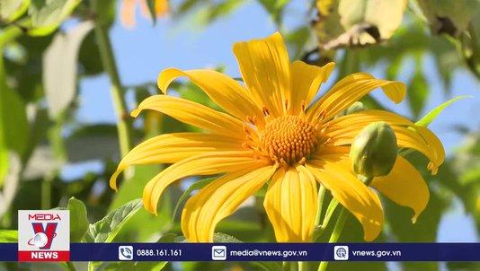 Hoa dã quỳ phủ vàng núi đồi Điện Biên