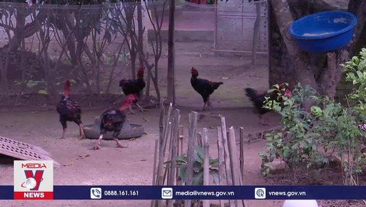 Khó khăn trong phát triển chăn nuôi gà Móng Tiên Phong