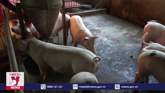 Tái đàn lợn đảm bảo an toàn dịch bệnh