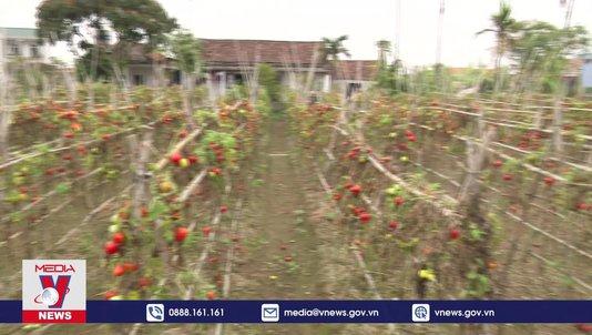 """Hơn 200 ha cà chua tại Nam Định cần """"giải cứu"""""""