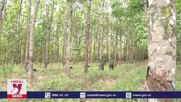 Hàng trăm hecta cao su trái phép mọc trên đất rừng